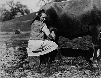 Girl milking a cow at Lytton Farm